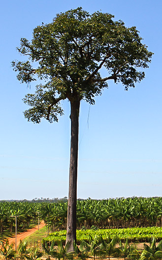 Preservation of fruit trees protected by law, such as the Brazil Nut (Castanha do Pará) tree.
